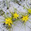Sterngras, Ficinia radiata, Sauergras, Cyperaceae, Kogelberg Nature Reserve, Western Cape, Westkap, Südafrika, [en] Star gras, Stergras, sedge, South Africa