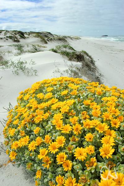 gelbe Asteraceen-Blüten (Didelta carnosa) in Sanddünen, West Coast National Park, Südafrika