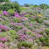 Fynbos-Landschaft mit blühenden Mittagsblumen, Aizoaceae, Clanwilliam, Cederberg, Western Cape, Westkap, Südafrika, South Africa