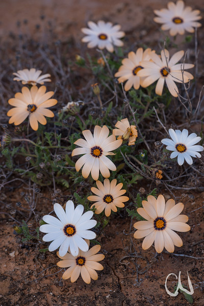 Knersvlakte wildflower region, Vredendal, Western Cape, South Africa