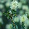 Van Staden´s Sceptre, Paranomus reflexus, Fynbos plant, Proteaceae, Kirstenbosch Botanical Garden, Botanischer Garten, Kapstadt, Südafrika