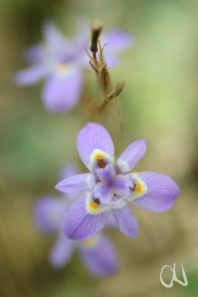 Iris flower, Iris-Blüte, Cape Agulhas, Western Cape, South Africa, Südafrika