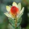 Protea flower, Leucadendron sp., Botanischer Garten, Kirstenbosch National Botanical Garden, Capetown, Kapstadt, Südafrika, South Africa