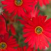 Gerbera aurantiaca, Hilton Daisy, Botanischer Garten, Kirstenbosch National Botanical Garden, Capetown, Kapstadt, Südafrika, South Africa