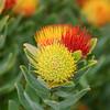 Leucospermum oleifolium, Tufted Pincushion, Mountain Fynbos, Bergfynbos, Botanischer Garten, Kirstenbosch National Botanical Garden, Capetown, Kapstadt, Südafrika, South Africa