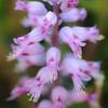 Hyazinthe, Lachenaria sp., Cape Columbine, Western Cape, Westkap, Südafrika, South Africa