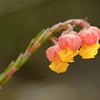 Hermannia concinnifolia, Malvaceae, Hibiscus family, Blüten im Fynbos, De Hoop Nature Reserve, Western Cape, South Africa, Südafrika