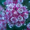 "Serruria ""Carmen"", Proteaceae, Kirstenbosch Botanical Garden, Botanischer Garten, Kapstadt, Südafrika"