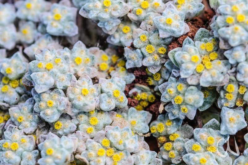 gelb blühende Sukkulente mit extrem haarigen Blättern, Hantam National Botanical Garden, Botanischer Garten, Nieuwoudtville, Northern Cape, Nordkap, Südafrika, South Africa