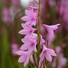 Blüten von Watsonia sp., Schwertliliengewächse, Iridaceae, Kirstenbosch National Botanical Garden, Kapstadt, Südafrika