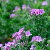 Wilde Geranie, Pelargonium cucullatum, Harold Porter National Botanical Garden, Botanischer Garten, Kogelberg, Western Cape, Westkap, Südafrika, South Africa