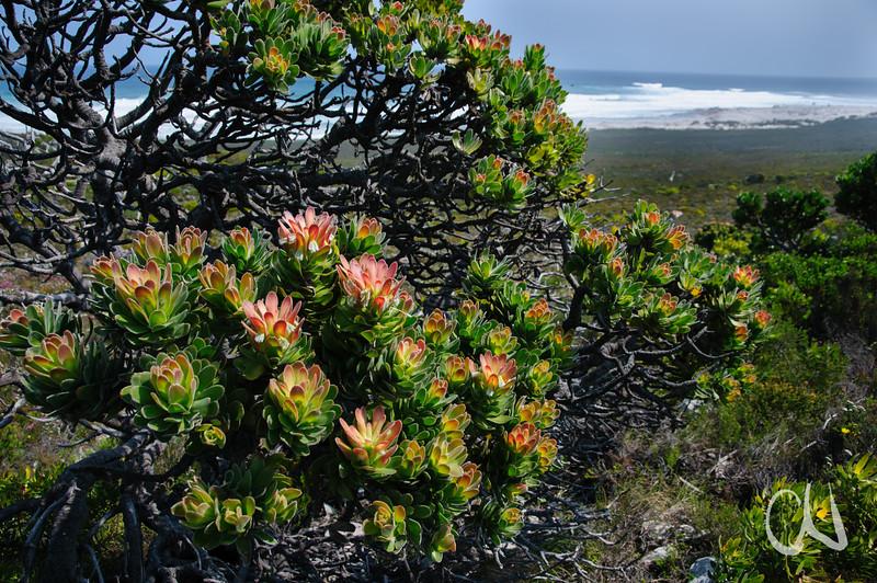 Baumprotee an der Atlantikküste, Mimetes fimbriifolius, Tafelberg Nationalpark, Cape of Good Hope Nature Reserve, Kap der Guten Hoffnung, Südafrika, [en] Tree Pagoda, Table Mountain National Park, South Africa