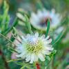 Blüte der Protee Protea scolymocephala, Kleingroenroos, Hermanus, Fernkloof Nature Reserve, Western Cape, Westkap, Südafrika