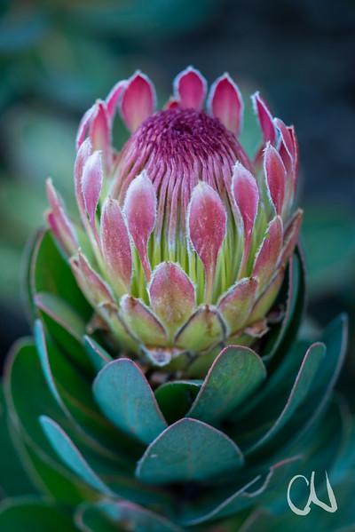 Dwarf Silver Sugarbush, Protea roupelliae subs. hamiltonii, Kirstenbosch Botanical Garden, Botanischer Garten, Kapstadt, Südafrika
