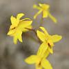 Blüten im Fynbos, wahrscheinlich Cyanella lutea, yellow flowers in fynbos, most probably of Cyanella lutea, De Hoop Nature Reserve, Western Cape, South Africa, Südafrika