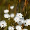 Edmondia sesamoides, mountain fynbos, weiße Strohblumen im Berg-Fynbos, De Hoop Nature Reserve, Potberg, Mountains, Western Cape, South Africa, Südafrika