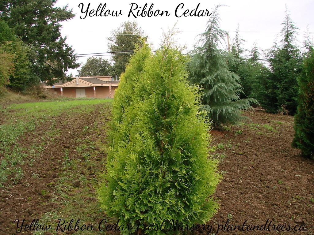 Thuja Yellow Ribbon 1