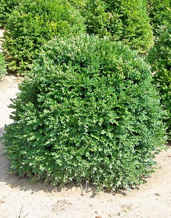 Boxwood - Green Velvet 1