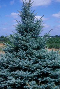 Fat Albert Colorado Spruce 2