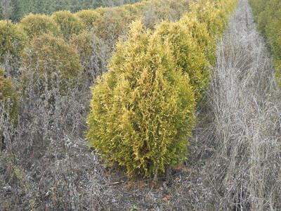 Arborvitae Wareana Lutescens