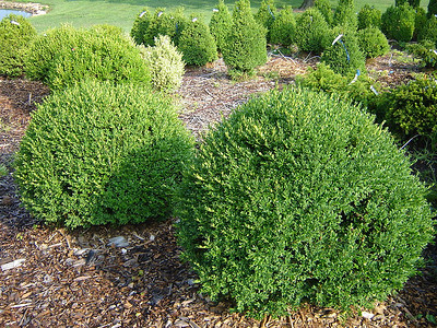 Buxus Chicagoland Green