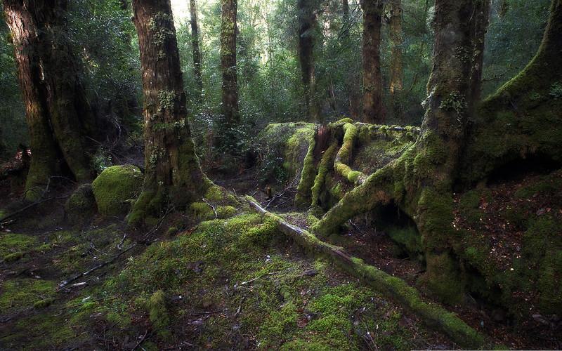 Franklin River forest, near Derwent Bridge