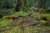 Upper Florentine Forest, Tasmania