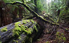 Upper Florentine forest, SW Tasmania