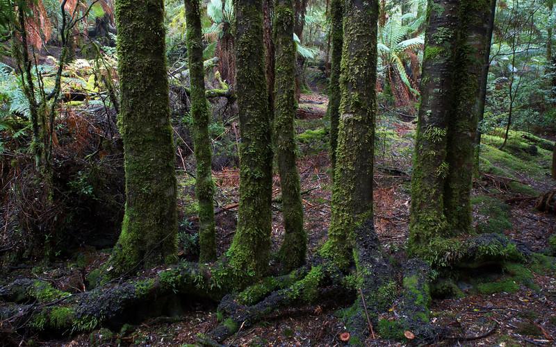 Blackwood, Milkshakes Reserve, Tarkine, Tasmania