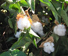Upland Cotton (Gossypium hirsutum), Buttonwillow, CA 26 Sep 2007