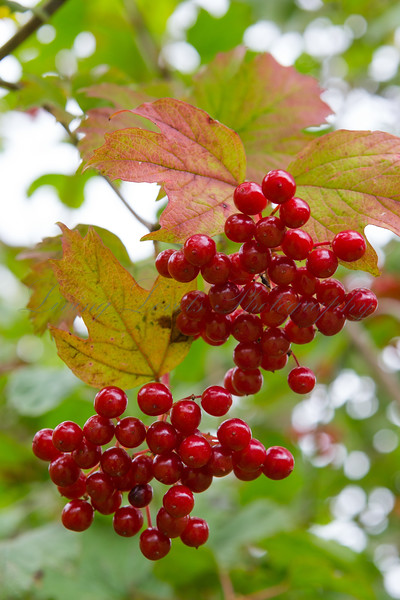 Highbush cranberry (Viburnum trilobum) berries ripen as Autumn approaches at Snowshill Manor in the Cotswolds
