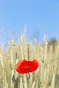 Single wild poppy in a barley field  at the Col des Fillys in the Alpes-de-Haute-Provence, early on a July morning.