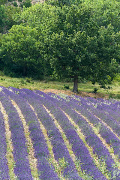 Lavender field at Thoard in Provence