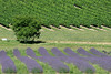 Lavender, grape vines and a walnut tree in Mid summer in a small vineyard in southern France