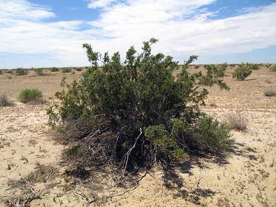 Creosote Bush (Larrea tridentata) Approx. 1 mi southwesterly of the Salton Sea, CA. 19 Apr 2010