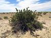 Creosote Bush (Larrea tridentata)<br /> Approx. 1 mi southwesterly of the Salton Sea, CA. 19 Apr 2010