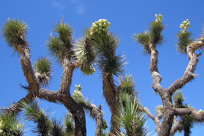 Joshua Tree fruit (Yucca brevifolia). Scodie Mountains. 19 Jun 2008.