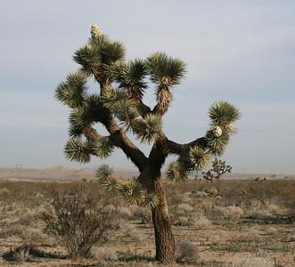 Joshua tree (Yucca brevifolia) in bloom, Adelanto, CA.  11 Mar 2008