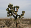 Joshua tree (Yucca brevifolia) in bloom, Adelanto, CA.  11 Mar 2008
