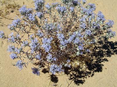Mojave woolstar (Eriastrum densifolium mohavense).  Near El Paso Mountains.  19 Jun 2008.