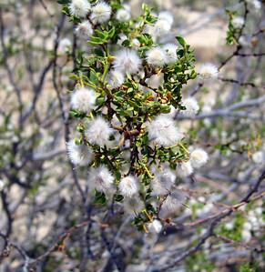 Creosote Bush (Larrea tridentata).  Southern Sierras. 19 Jun 2008.