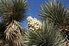 Joshua tree (Yucca brevifolia) inflorescence, Adelanto, CA.  11 Mar 2008