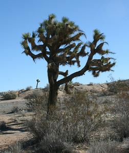 Joshua Tree (Yucca brevifolia), Highway 395 near Kramer Junction, CA 12 Feb 2008