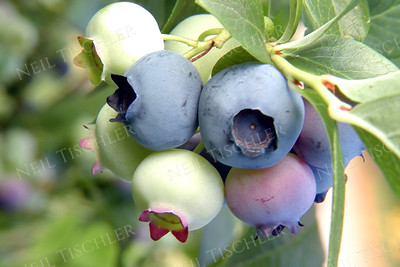#164  Blueberries ripening on the vine