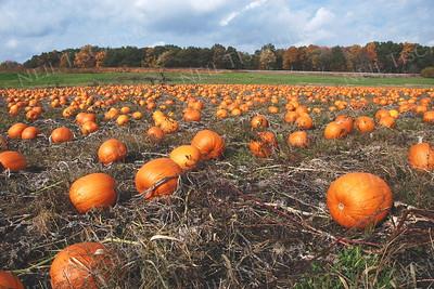 #929  A pumpkin field