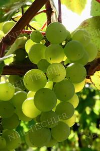 #308  Sunlit green grapes on the vine