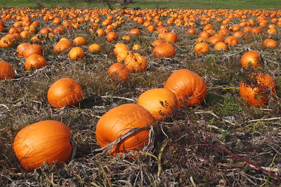 #934  A pumpkin field