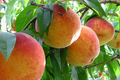 #291  Peaches ripening