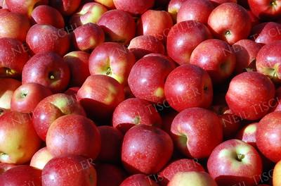 #692  A bin full of freshly-picked apples.