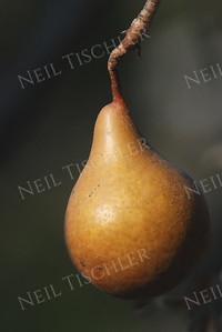 #652  A lone pear